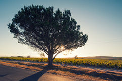 Backlighted tree,south africa Stock Photography