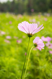 Backlighting, Cosmos bipinnata Cav Royalty Free Stock Photos