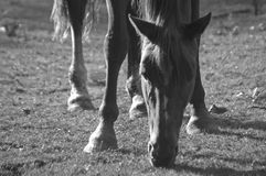 Backlighting, horse grazing BW Stock Photography