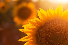 Backlighting of Sunflower Stock Image