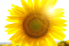 Backlighting Sunflower Detail Royalty Free Stock Image