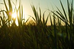 backlighting trawy zieleń zdjęcia stock