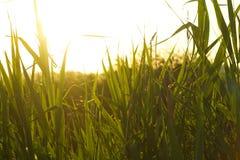 backlighting trawy zieleń obrazy stock