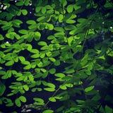 Backlightings groene bladeren Stock Foto's