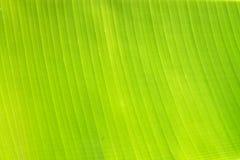 Backlit świeży zielony palmowy liść Zdjęcie Stock