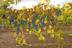 backlit виноградины Стоковое Изображение RF