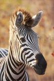 backlit зебра портрета Стоковое Изображение RF