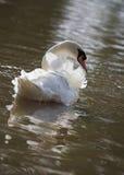 backlit лебедь реки Стоковое фото RF