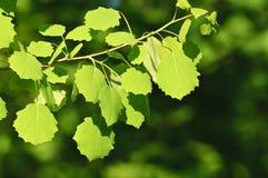 backlit листья березы стоковые фотографии rf