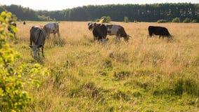 Backlit скотины пася в поле на заходе солнца Стоковые Изображения RF