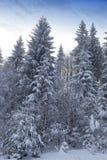 Backlit снежная пуща в зиме Стоковое фото RF