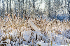 backlit снежок cattails Стоковые Изображения RF