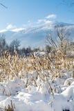 backlit снежок cattails Стоковое Изображение