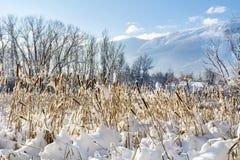 backlit снежок cattails Стоковые Изображения