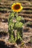 backlit солнцецвет Стоковое Изображение