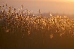 Backlit тростники Стоковое Фото