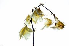 backlit цветок Стоковая Фотография