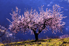 Backlit Almond Blossom. Almond Blossom tree backlit against a mountian royalty free stock images