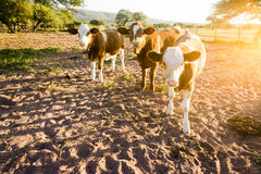 Backlit approaching cows Stock Photography