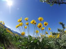 Backlit arnica wild flowers. Royalty Free Stock Photography