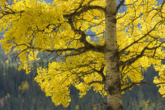 Backlit aspen tree. Aspen tree in fall, backlit by natural light Royalty Free Stock Image