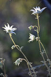Backlit Australian Flannel Flowers. Sunshine backlighting the white petals of the Australian wildflower, the Flannel flower (Actinotus helianthi) in Sydney Royalty Free Stock Photo