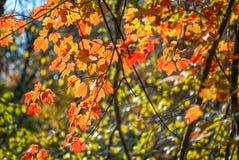 Backlit Autumn Branch  Autumn Branch Royalty Free Stock Photos