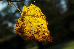 Backlit autumn leaf. Autumn linden leaf backlit by low sunlight Royalty Free Stock Photography
