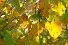 Backlit autumn leaves Stock Photos