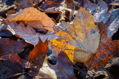 Backlit Autumn leaves at dusk Royalty Free Stock Photography