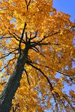 Backlit Autumn Oak Tree Royalty Free Stock Images