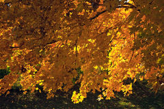 Backlit Autumn tree Royalty Free Stock Images