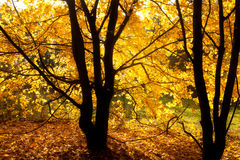 Backlit autumn tree Stock Photos