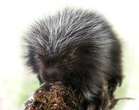 Backlit Baby Porcupine (Erethizon dorsatum) Royalty Free Stock Photos