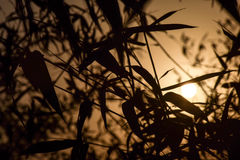Backlit Bamboo leaf in sunrise. Bamboo leaf Silhouette in sunrise royalty free stock images