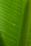 Backlit Banana Leaf. Sunlight through Banana Leaf with dew royalty free stock photography