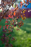Backlit barberry bush colorful background  Royalty Free Stock Image
