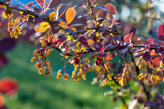 Backlit barberry bush Royalty Free Stock Image