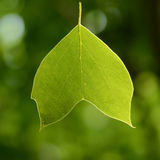Backlit beautiful green tree leaf Royalty Free Stock Image