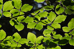 Backlit beech leves in forest Stock Image