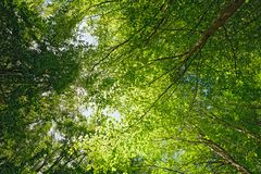 Backlit beech tree canopy on a sunny  day. Royalty Free Stock Images