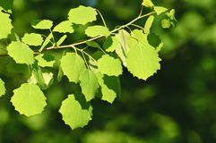 Backlit birch leaves Royalty Free Stock Photos