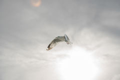 Backlit Bird flying spread wings on sky Stock Images