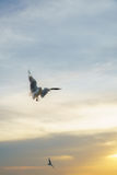 Backlit Birds flying spread wings at sunset Royalty Free Stock Photography