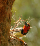 Backlight Black Collared Barbet Stock Photography