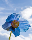 Backlit Blooming Blue Poppy. Clouds float behind a backlit Himalyan blue poppy royalty free stock images