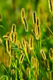 Backlit blooming grass Stock Photos
