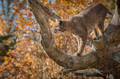 Backlit Bobcat Lynx rufus In Branches. Captive animal Royalty Free Stock Photo