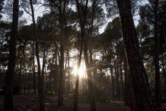 Backlit bomen in een Spaans bos bij zonsondergang stock fotografie