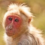 Backlit Bonnet Macaque Royalty Free Stock Image